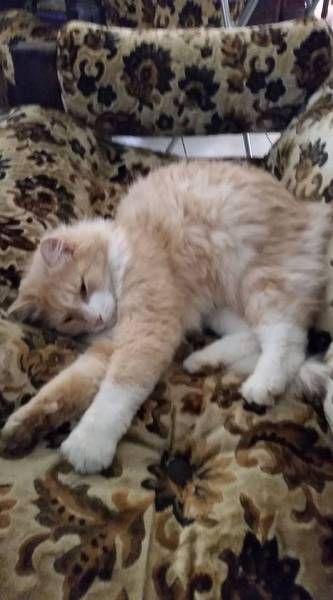 Lost Cat Gordon Park Queensland Qld Australia L40644 With Images Lost Cat Cats Pets Cats