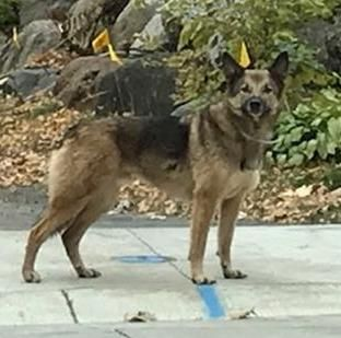 Sighting Only Is This Your Dog Marine St Croix Unknown German Shepherd Mix Unknown Gender Date Sighting 10 28 2019 Breed O Losing A Dog Dogs Dog Ages