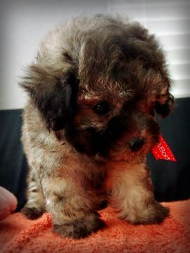 Poodle Miniature Puppy For Sale In Houston Tx Adn 58297 On Puppyfinder Com Gender Male Age 8 Weeks O Miniature Puppies Miniature Poodle Puppies For Sale