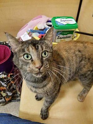 Kalamazoo Mi Domestic Shorthair Meet Willow Petsmart A Cat For Adoption Pet Adoption Pets Cat Adoption