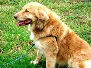 Jazzy Is An Adoptable Golden Retriever Dog In Greenville Sc