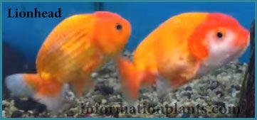 سمكة رأس الاسد Lionhead سمك زينة انواع الاسماك معلومان عامه معلوماتية نبات حيوان اسماك فوائد Fish Pet Fish Pets