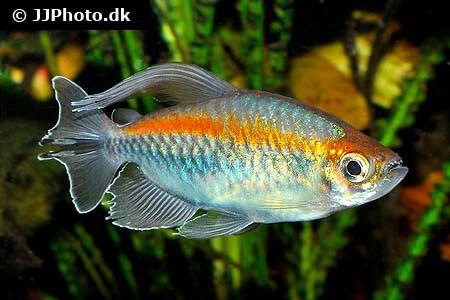 Congo Tetra Care Size Lifespan Tank Mates Breeding Tropical Fish Aquarium Fish Underwater Creatures