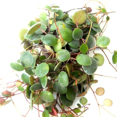Peperomia Pepperspot Https Www Houseplant411 Com Houseplant