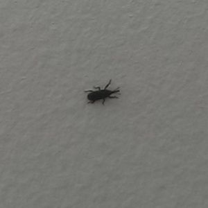 Trying To Identify Black Ant Like Bugs Found Occasionally In My Apartment Ask An Expert Black Ants Black Insects House Bugs