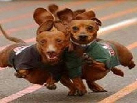 June 9 2018 Ky Dachshund Derby Check Out All The Info On Our Web Site Below Wiener Dog Funny Animals Cute Animals