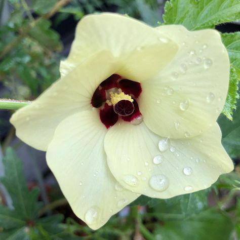 今朝のオクラの花 まだまだ実を付けそう 家庭菜園 ベランダ菜園 野菜 花 緑 無農薬 夏野菜 夏 朝 水遣り 暮らし 日常 A Vegetables Blogspot