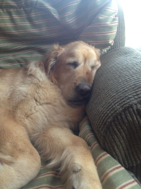 Our newly rescued Golden Retriever Lady(10 yrs old) is making herself right at home.