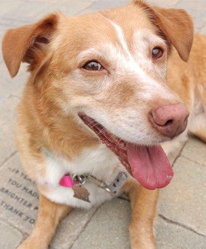 Adopt Angel Face On Welsh Corgi Mix Dog Adoption Homeless Pets