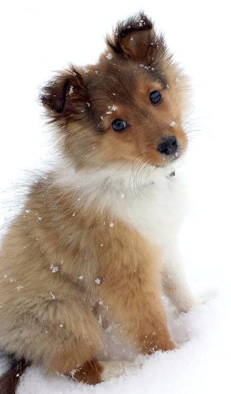 101 Cute Sheltie Puppies | Sheltie Planet