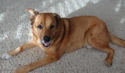 Adopt A Golden Retriever Grcgla Rescue Adoption Dogs Golden