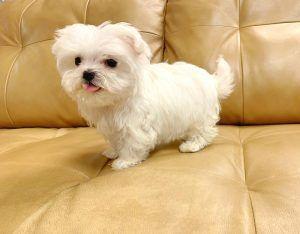 Puppies For Sale Orlando Fl Breeder S Pick Orlando Inc