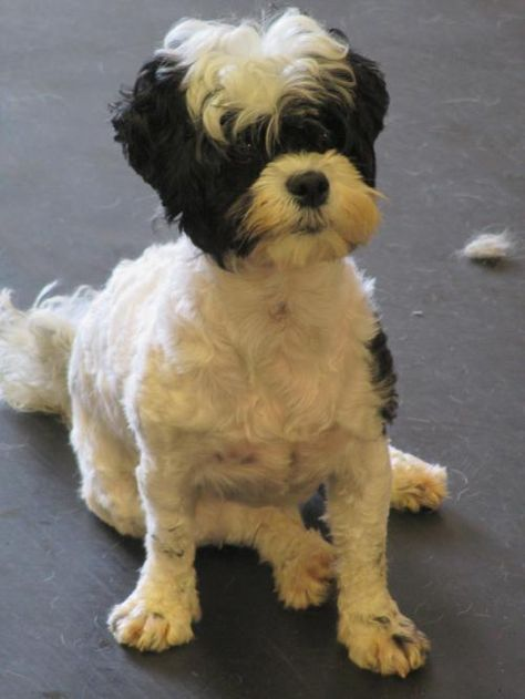 Sierra is an adoptable Shih Tzu, Poodle Dog in Rensselaer, NY Once Sierra gets to know you, she will smoother you with love and will crave your attention whe ... ...Read more about me on @petfinder.com