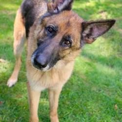 Pictures Of Axle A German Shepherd Dog For Adoption In Chester