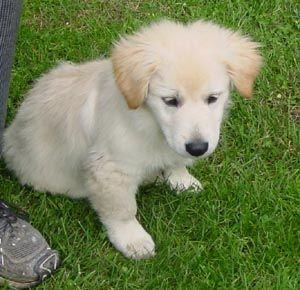 Save A Dog Inc Blake The Labrador Shih Tzu Puppy S Web Page Shih Tzu Hunde Und Welpen Kaufen In Sachsen Ebay The World S Best Photos Of Shih Tzu Shih