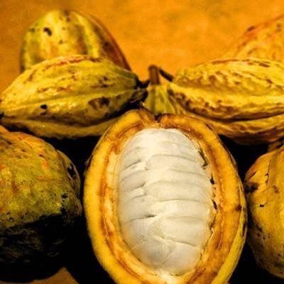 Resultado de imagen para Theobroma cacao