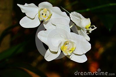 Phalaenopsis Is The Scientific Name For This White Orchid With A Canary Yellow Center Lip Moth Orchid Orchids Flowers Photography