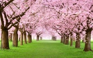 If Would Take The Better Portion Of A Day To Name Every Variety Of Cherry Tree All Of Them Lovely And All Origin Blossom Trees Cherry Tree Cherry Blossom Tree