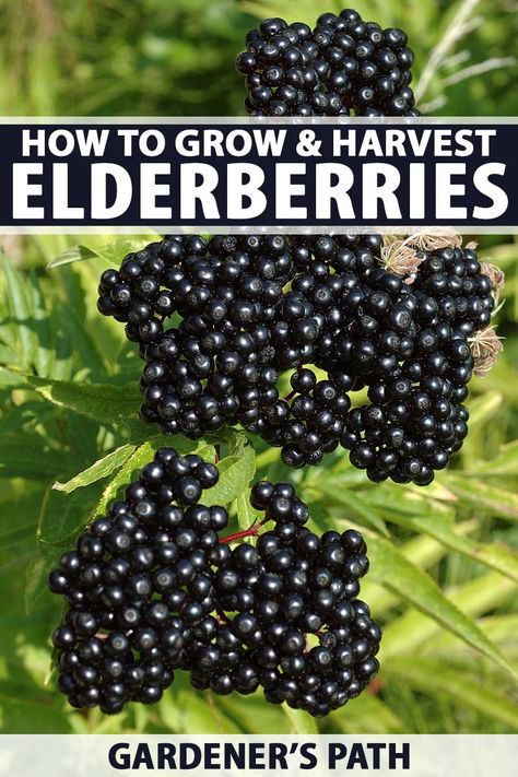 Whether wanting a beautiful shrub or small tree for your yard, or wanting to harvest berries to make syrup or wine to fend off sickness, the elderberry makes a beautiful addition to any small holding. Home Vegetable Garden, Fruit Garden, Herb Garden, Garden Gates, Elderberry Plant, Elderberry Growing, Elderberry Recipes, Growing Fruit Trees, Small Trees