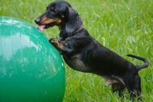 The Long and Short of it All: A Dachshund Dog News Magazine: Those Special Dachshunds: Meet Oscar! #puppy #Retriever #Labrador