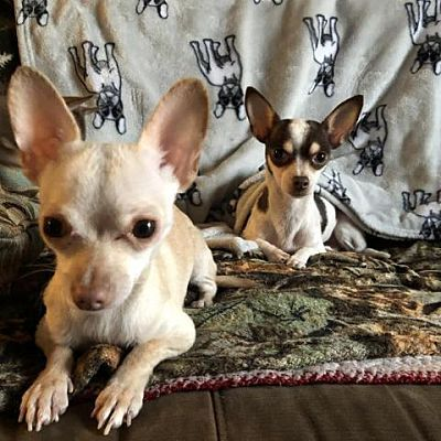 Chicago Heights Il Chihuahua Meet Marshmallow Fluff A Pet For