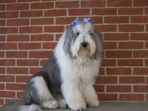 Http Www Wpcsd K12 Ny Us Page 12790 Bearded Collie Collie Beard