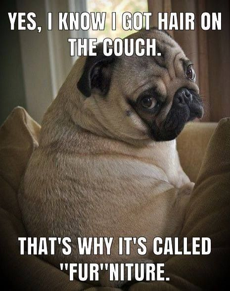 Furniture Pugs Funny Meme Dog Jokes Pugs Funny