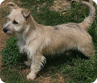 Pilot Point Tx Cairn Terrier Mix Meet Jinx A Puppy For