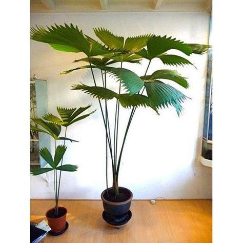 CARLUDOVICA PALMATA tequilla palm Panama Hat Plant