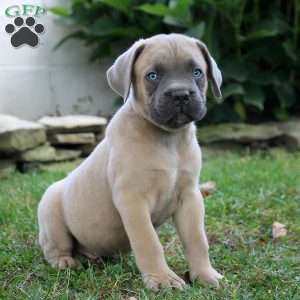 Cane Corso Puppies For Sale Cane Corso Dog Breed Info Greenfield Puppies In 2020 Cane Corso Puppies Corso Dog Cane Corso