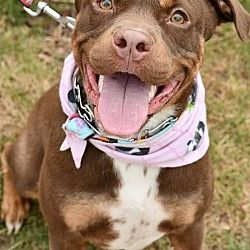 Available Pets At Friends To The Forlorn Pitbull Rescue Inc In