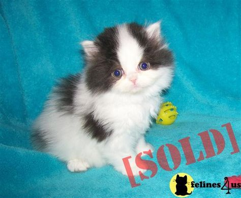 Luke Is A Very Sweet 11 Week Old Kitten He Is Playful And Friendly He Likes Other Cats And Loves To Cuddle To Adopt Him Is 120 00 W Kitten Adoption Kittens