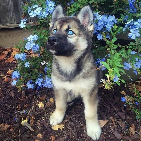 Cute Husky Puppies, Cute Little Puppies, Siberian Husky Puppies, Husky Mix, Husky Puppy, Siberian Huskies, Lab Puppies, Red Husky, Baby Huskies