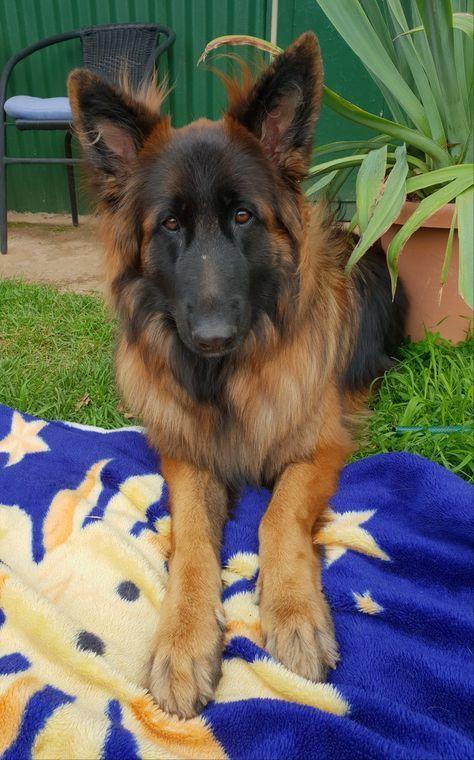 Read Message Wi Rr Com German Shepherd Dogs Cute Dogs German