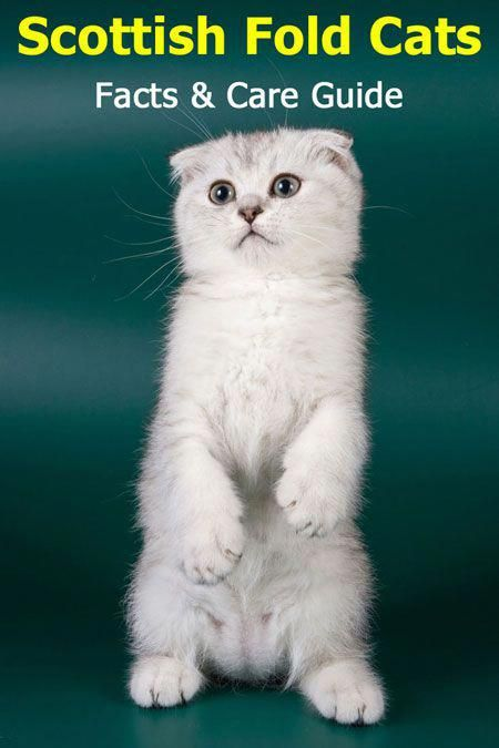 Scottish Fold Cats Facts And Care Guide Detailed Information About This Cat Breed Including Care Guide Cat Scottish Fold Scottish Fold Scottish Fold Kittens