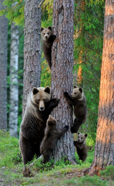 Brown bear family Photo by Erik Mandre -- National Geographic Your Shot