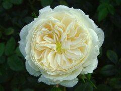 日陰 半日陰 日当たりが良くなくても咲くバラ26種まとめ 50代美肌コスメ健康美人になる方法 バラ きれいなバラ 鉢植え