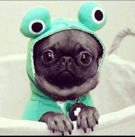 Pug frog.