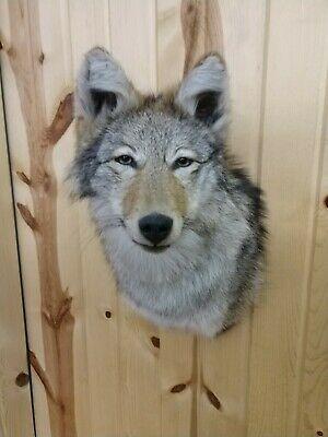 Ad Ebay Beautiful Coyote Head Mount Raccoon Taxidermy Fox Bobcat Antler Fox Cabin Decor In 2020 Taxidermy Fox Baby Bobcat Taxidermy