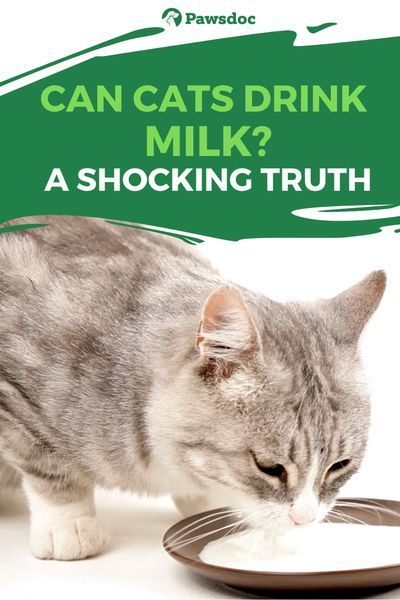 Can Cats Drink Milk Check What It Will Do To Your Cat Cat Drinking Cat Care Cats