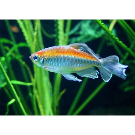 Available Online For Ordering Now At Our Store Congo Tetra Phen Check It Out Here Http Www Freshnmar In 2020 Freshwater Aquarium Fish Tetra Freshwater Aquarium