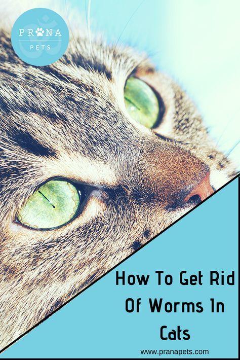 How To Get Rid Of Worms In Cats Wormsincats Tapewormsincats Roundwormsincats Cathealthblog Cat Kitten Parasitesincats Cat Worms Flea Remedies Cats