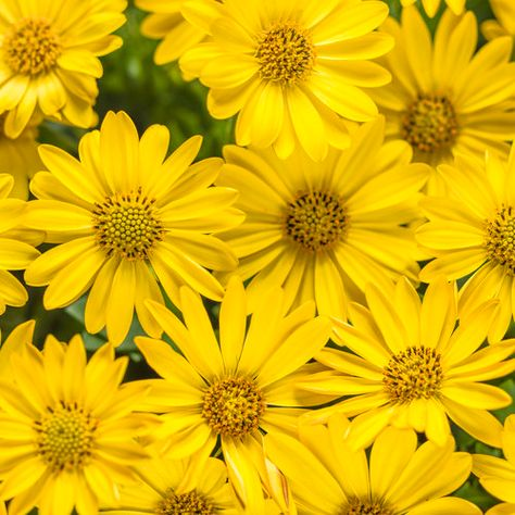 Proven Winners - Bright Lights™ Yellow - African Daisy - Osteospermum hybrid yellow bright, sunny yellow plant details, information and resources. Rainbow Aesthetic, Aesthetic Colors, Aesthetic Yellow, Yellow Plants, Yellow Flowers, Bright Flowers, Yellow Perennials, Flowers Perennials, Hardy Perennials