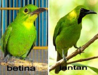Perbedaan Cucak Ijo Kalimantan Dan Banyuwangi Murai Jantan Dan Betina Kacer Jantan Dan Betina Harga Cucak Ijo Pleci Jantan Dan Betina Betina Burung Peternakan