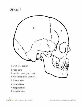 Awesome Anatomy: Skull Science   Anatomy, Worksheets and Human anatomy