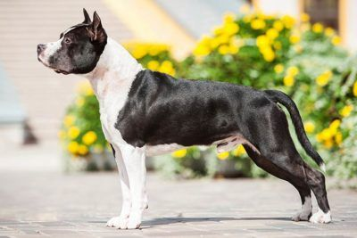 American Staffordshire Terrier Dog Breed Information Terrier