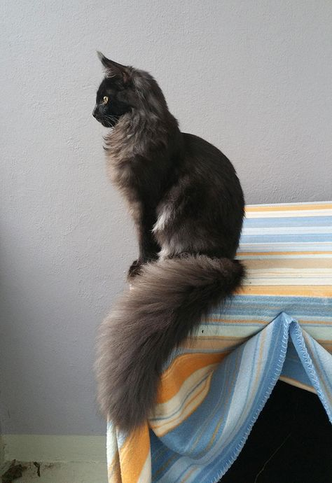 7-Months-Old Maine Coon Thinks He Is A Statue