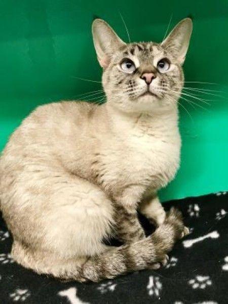 Jolie Siamese Cat For Adoption In Oak Park Illinois Cat Adoption Cats Siamese Cats