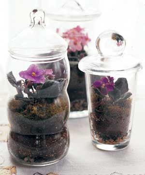 Miniature African violets grown in terrariums!