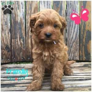 Cavapoo Puppies For Sale Cavapoo Puppies Puppies Dog Breed Info